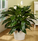 Spathiphyllum Floor Plant Davis Floral Clayton Indiana from Davis Floral